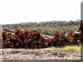 Logs to be turned into lumber